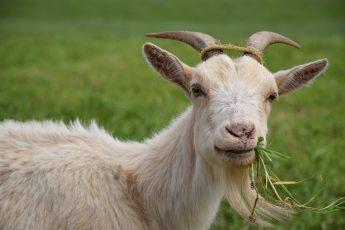 goat-1402613_1280